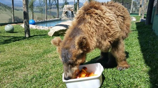 05 ursa marsha rowena resgatada santuario rancho gnomos vegano shoes - Confira a belíssima transformação da ursa Rowena, ela chegou ao santuário de SP após sofrer maus tratos