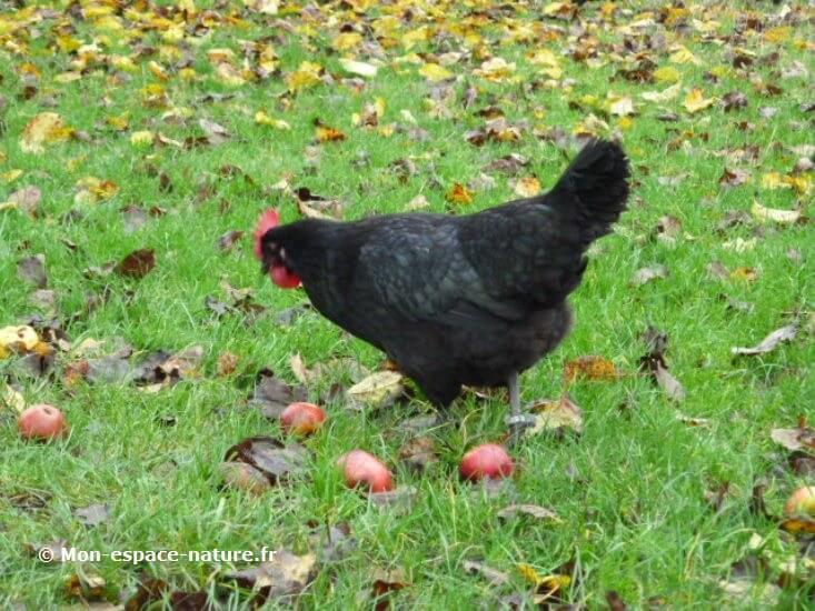 galinha 3 - Na França, galinhas substituem agrotóxicos em plantações