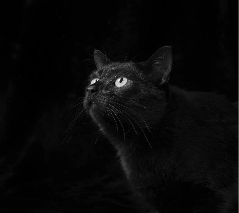 54 - Eles são lindos sim! Cães e gatos pretos posam para fotos para incentivar adoção