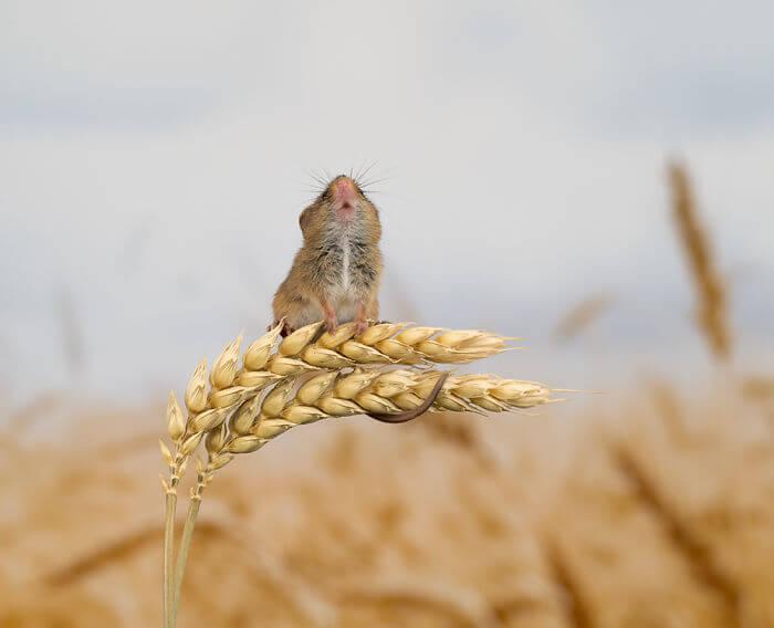 1 5d2437fd8676a 700 - Aqui estão 15 fotos de ratos de colheita vivendo sua vida por Dean Mason