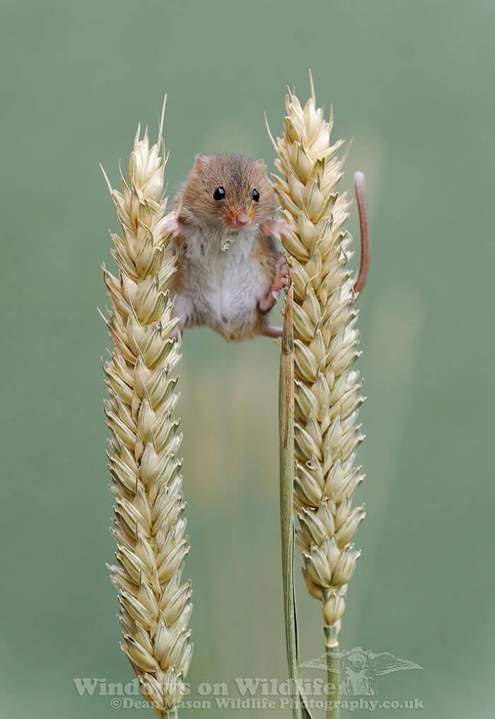 4 5d243803cd5de 700 - Aqui estão 15 fotos de ratos de colheita vivendo sua vida por Dean Mason