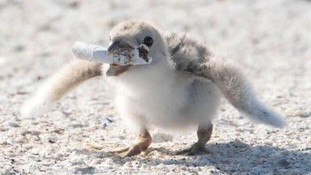 Bird12 - Foto registra ave alimentando filhote com cigarro