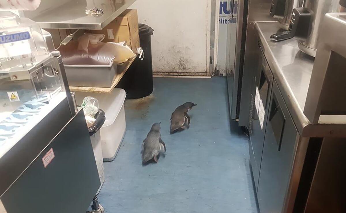 ap19198200374073 - Após assaltarem restaurante japonês na Nova Zelândia pinguins são detidos