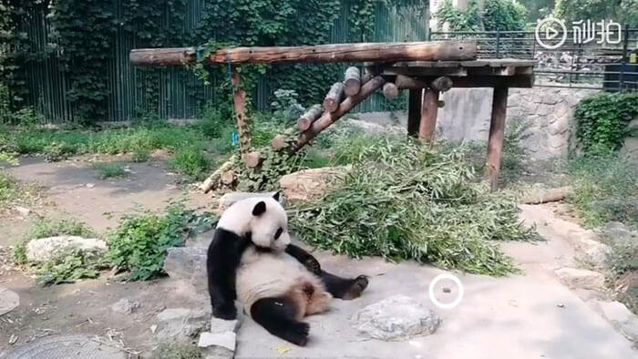 chinese tourist panda throws rock beijing zoo 100 1 - Turistas atiram pedras em Panda por estarem entediados e ela dormindo