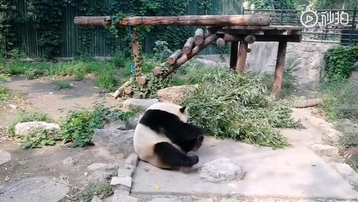 chinese tourist panda throws rock beijing zoo 2 3 5d2db69c7b1ce 700 - Turistas atiram pedras em Panda por estarem entediados e ela dormindo