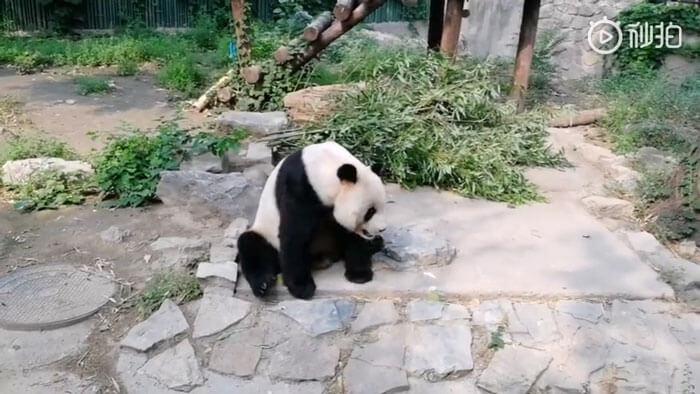chinese tourist panda throws rock beijing zoo 2 5 5d2db6a09f918 700 - Turistas atiram pedras em Panda por estarem entediados e ela dormindo