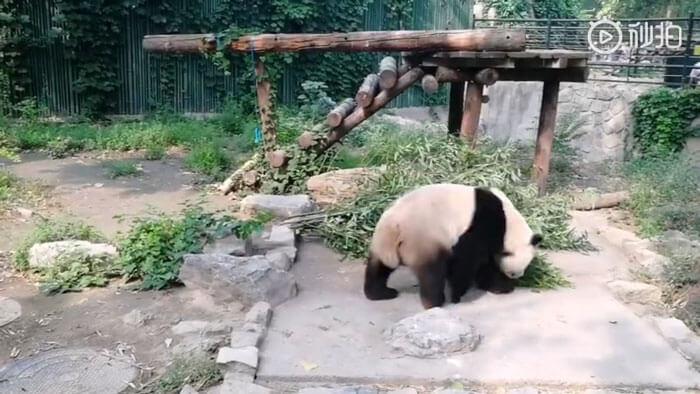 chinese tourist panda throws rock beijing zoo 2 6 5d2db6a29cb13 700 - Turistas atiram pedras em Panda por estarem entediados e ela dormindo