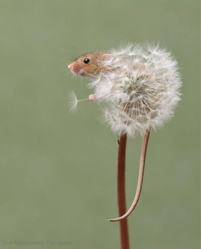 cute harvest mouses dean mason photography 1 5d24471f5ad74 700 - Aqui estão 15 fotos de ratos de colheita vivendo sua vida por Dean Mason