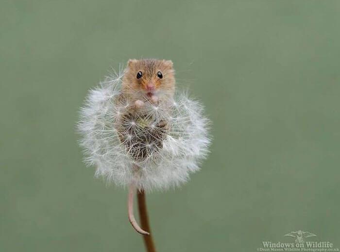 cute harvest mouses dean mason photography 12 5d2448d7ea70f 700 - Aqui estão 15 fotos de ratos de colheita vivendo sua vida por Dean Mason