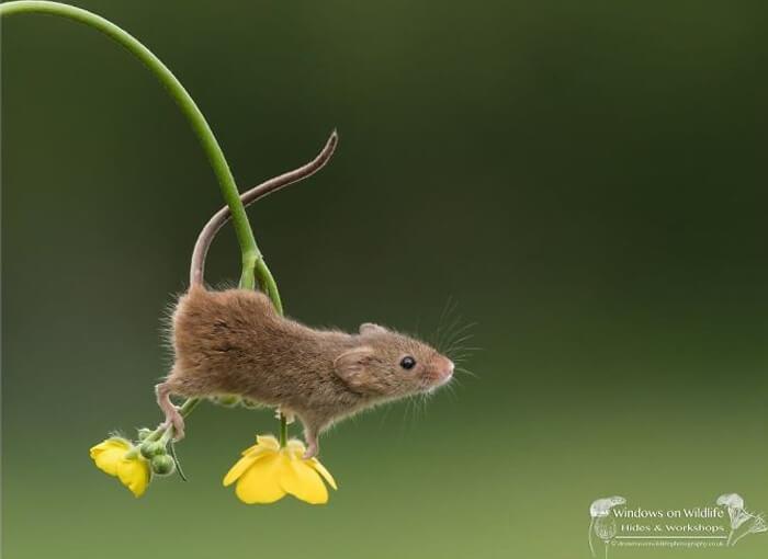 cute harvest mouses dean mason photography 19 5d2449c290128 700 - Aqui estão 15 fotos de ratos de colheita vivendo sua vida por Dean Mason