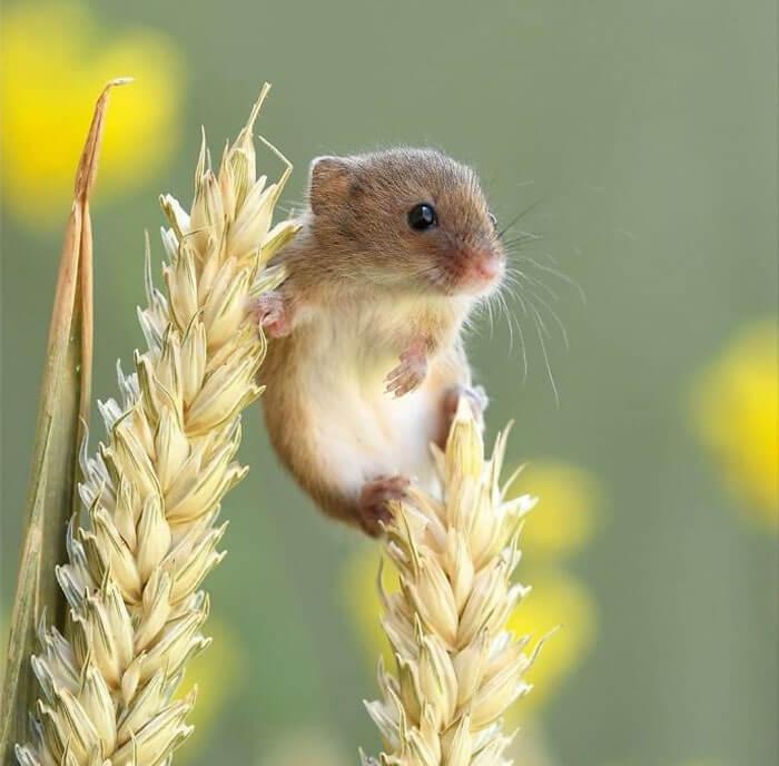 cute harvest mouses dean mason photography 2 5d244752a8e91 700 - Aqui estão 15 fotos de ratos de colheita vivendo sua vida por Dean Mason