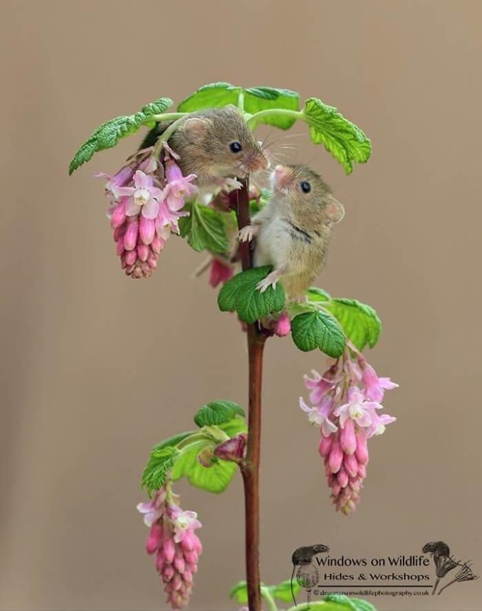 cute harvest mouses dean mason photography 22 5d244b82645bf 700 - Aqui estão 15 fotos de ratos de colheita vivendo sua vida por Dean Mason