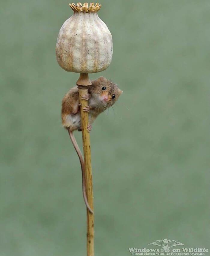 cute harvest mouses dean mason photography 27 5d244c9719893 700 - Aqui estão 15 fotos de ratos de colheita vivendo sua vida por Dean Mason