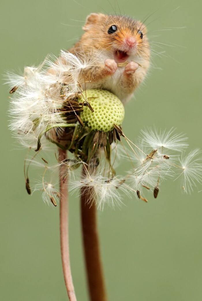 cute harvest mouses dean mason photography 3 5d2439c3390ce 700 - Aqui estão 15 fotos de ratos de colheita vivendo sua vida por Dean Mason