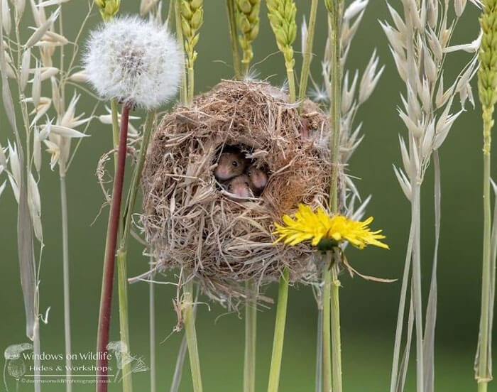 cute harvest mouses dean mason photography 3 5d24477e79e2c 700 - Aqui estão 15 fotos de ratos de colheita vivendo sua vida por Dean Mason