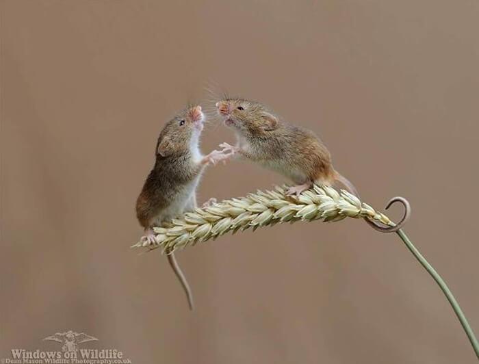 cute harvest mouses dean mason photography 36 5d244dc08ec7e 700 - Aqui estão 15 fotos de ratos de colheita vivendo sua vida por Dean Mason