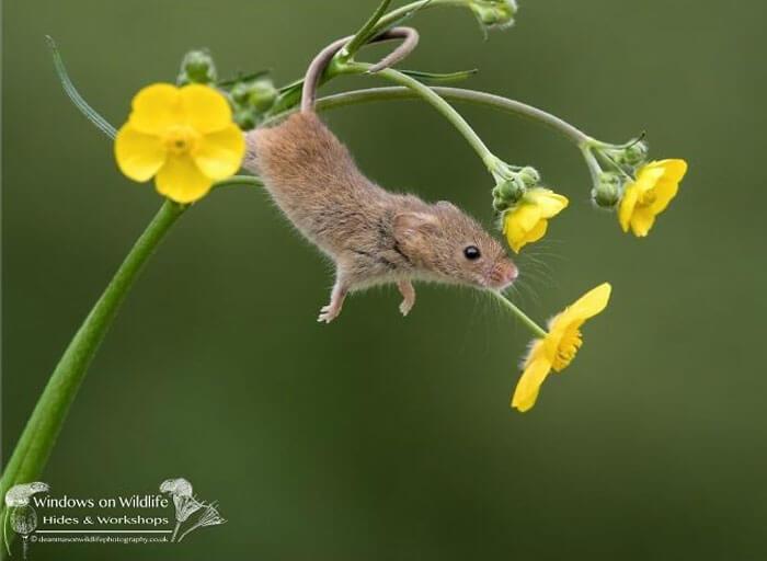 cute harvest mouses dean mason photography 5 5d2447c8d783e 700 - Aqui estão 15 fotos de ratos de colheita vivendo sua vida por Dean Mason