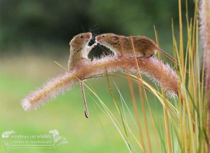 cute harvest mouses dean mason photography 6 5d2447ee782b1 700 - Aqui estão 15 fotos de ratos de colheita vivendo sua vida por Dean Mason