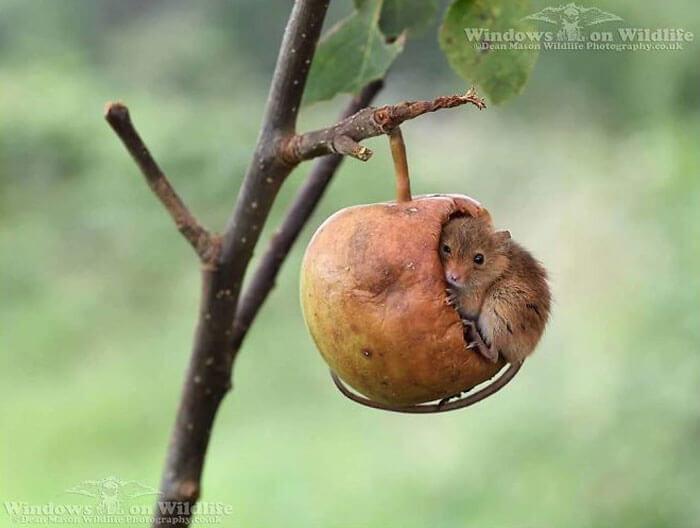 cute harvest mouses dean mason photography 9 5d2448685b141 700 - Aqui estão 15 fotos de ratos de colheita vivendo sua vida por Dean Mason