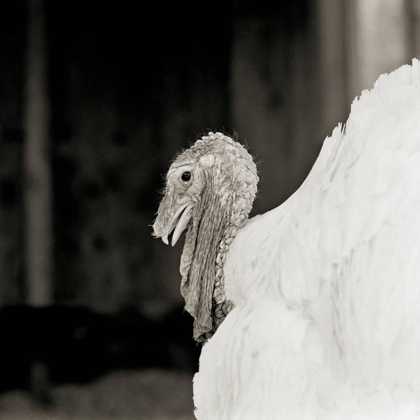 permitido4 - Retratos de animais de fazenda resgatados autorizados a envelhecer