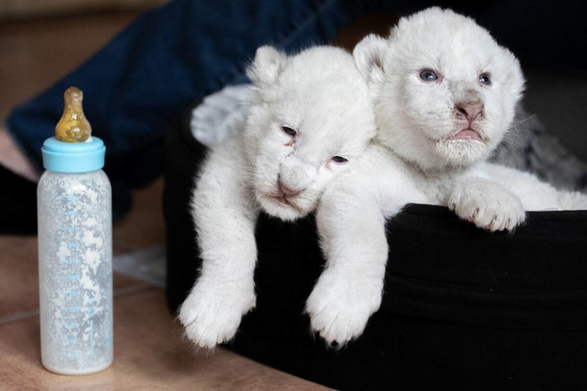 Leões2 - Raros leões albinos nascem em santuário de proteção animal na França