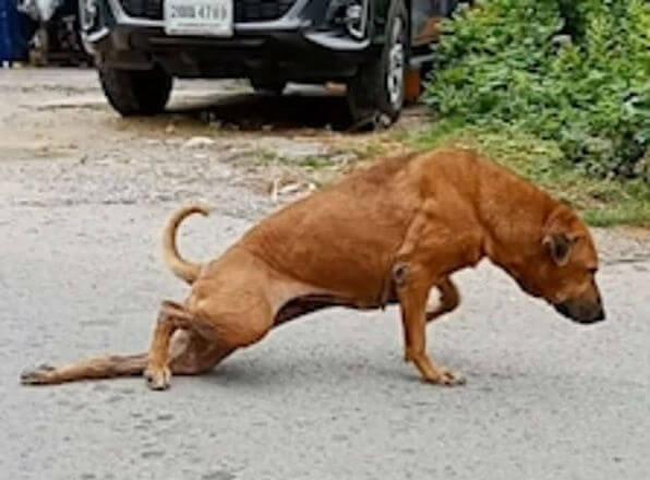 cao gae finge perna quebrada atencao tailandia 28082019153928204 - Cãozinho finge ter pata quebrada pra ganhar carinho e comida nas ruas