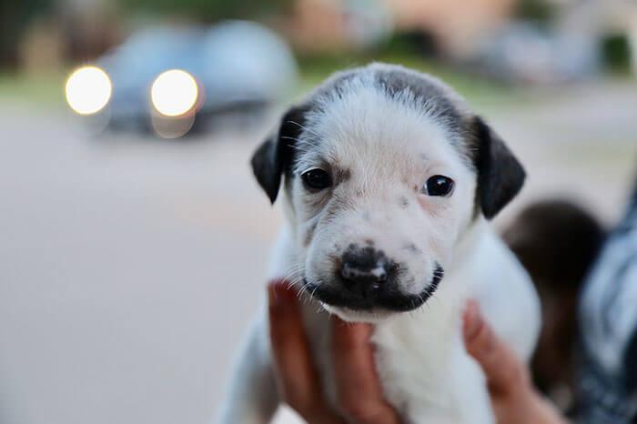 handlebar mustache puppy salvador dolly heartsandbonesrescue 12 5d441d841f26f 700 - Conheça Salvador Dolly, o cãozinho mais fofo com bigode