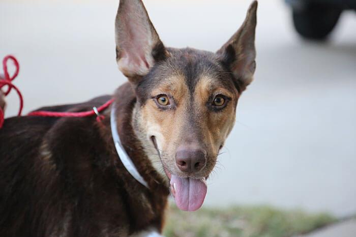 handlebar mustache puppy salvador dolly heartsandbonesrescue 4 5d441d7434238 700 - Conheça Salvador Dolly, o cãozinho mais fofo com bigode