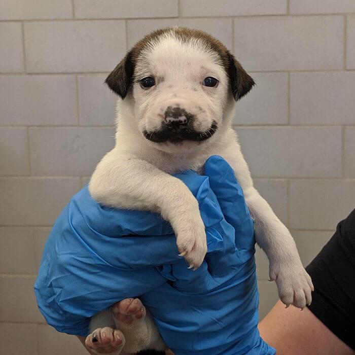 handlebar mustache puppy salvador dolly heartsandbonesrescue 5 5d441d7624543 700 - Conheça Salvador Dolly, o cãozinho mais fofo com bigode
