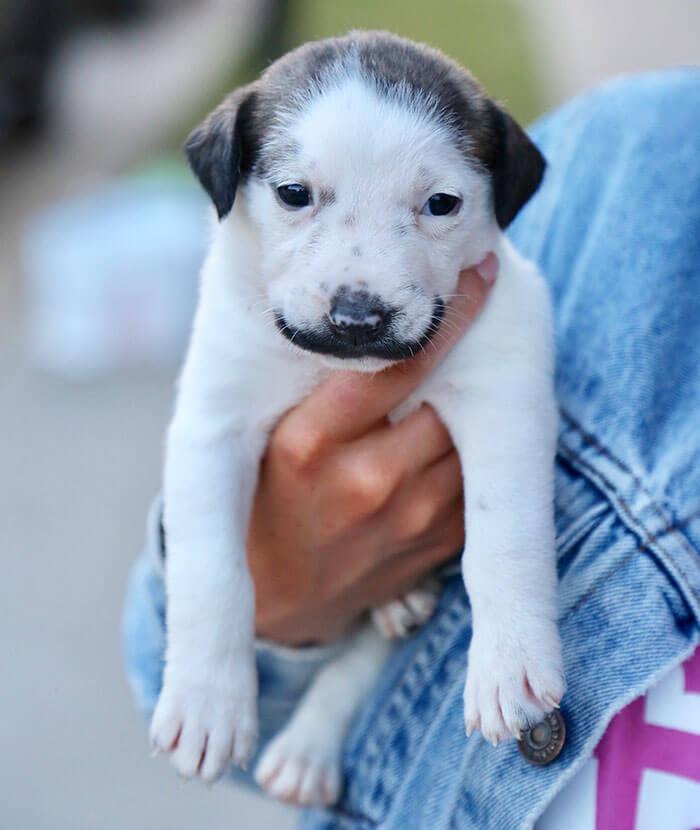 handlebar mustache puppy salvador dolly heartsandbonesrescue 7 5d441d7a294de 700 - Conheça Salvador Dolly, o cãozinho mais fofo com bigode