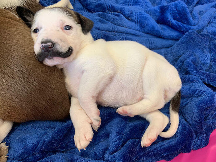 handlebar mustache puppy salvador dolly heartsandbonesrescue 8 5d441d7c50f3f 700 - Conheça Salvador Dolly, o cãozinho mais fofo com bigode