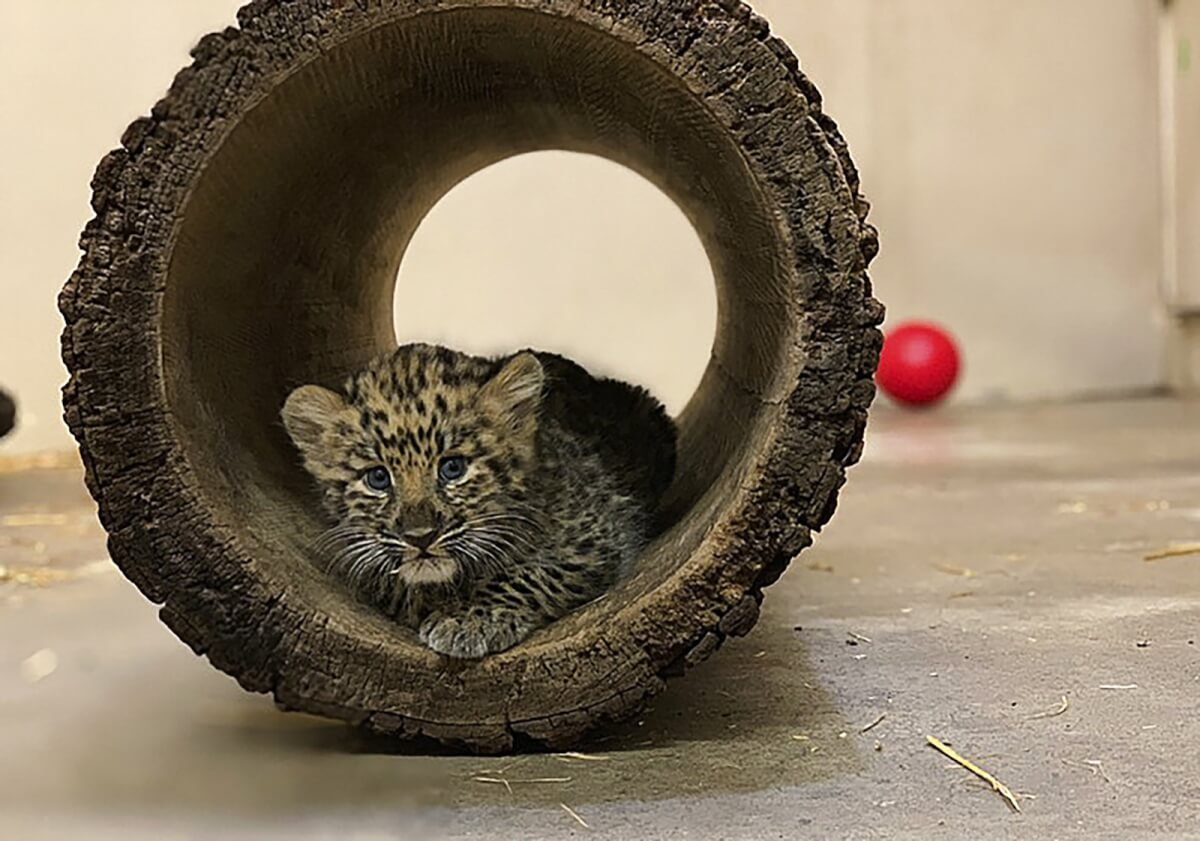 leopardos 1 - Zoológico gasta mais de 400 mil dólares para se adaptar a filhotes de leopardo ameaçados