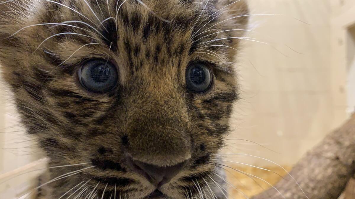 leopardos 2 - Zoológico gasta mais de 400 mil dólares para se adaptar a filhotes de leopardo ameaçados