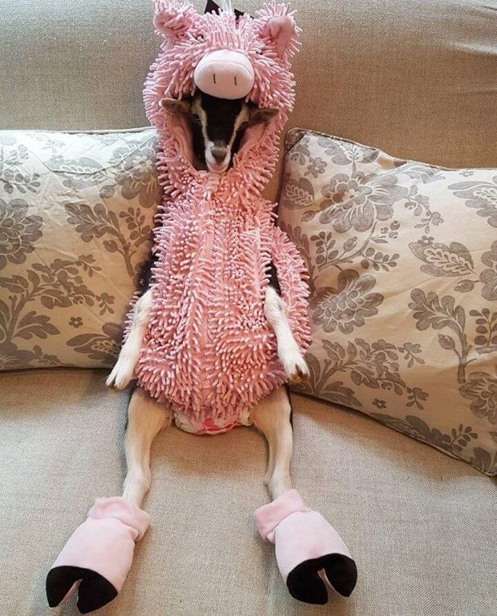 pollyporco - Filhote de cabra que sofre de ansiedade só se acalma quando usa fantasias
