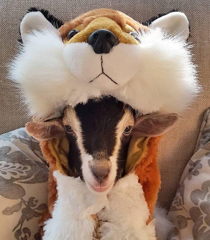 pollyraposa - Filhote de cabra que sofre de ansiedade só se acalma quando usa fantasias