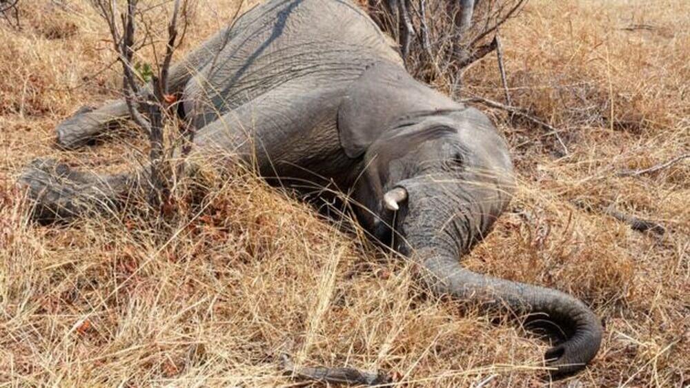 elefantes 2 - Mais de 55 elefantes morrem de fome devido a graves crises de seca em Zimbábue