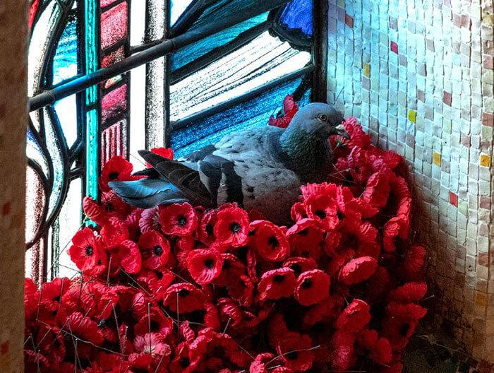 pombo2 - Pombo constrói ninho com flores roubadas do túmulo de um soldado desconhecido