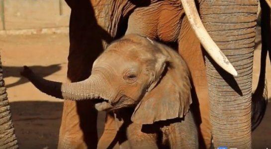 3 12 545x301 1 - Elefanta retorna a seus salvadores para apresentar seu filhote recém-nascido