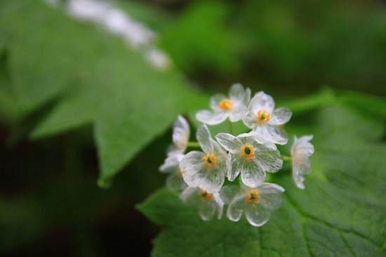 flor esqueleto2 - Flor 'mágica' se torna transparente quando chove