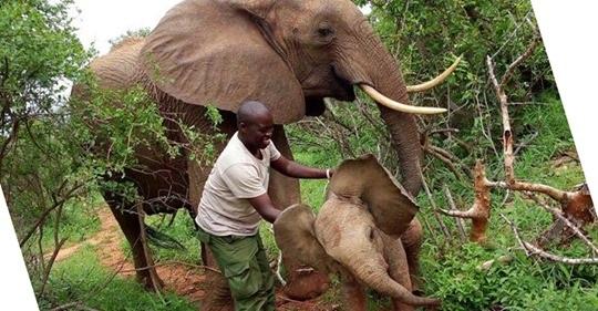 safe image - Elefanta retorna a seus salvadores para apresentar seu filhote recém-nascido