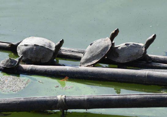 hindu - Espécie de tartaruga há tempos extinta 'renasce' em templo hindu na Índia