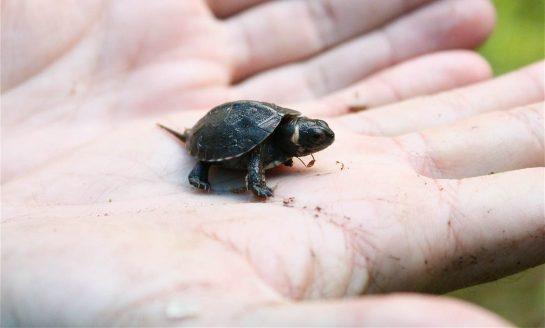 hindu2 - Espécie de tartaruga há tempos extinta 'renasce' em templo hindu na Índia