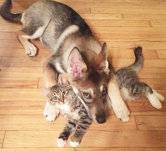husky dog picks shelter cat friendship raven woodhouse christina 1 - Husky adota gatinho e se tornam melhores amigos inseparáveis