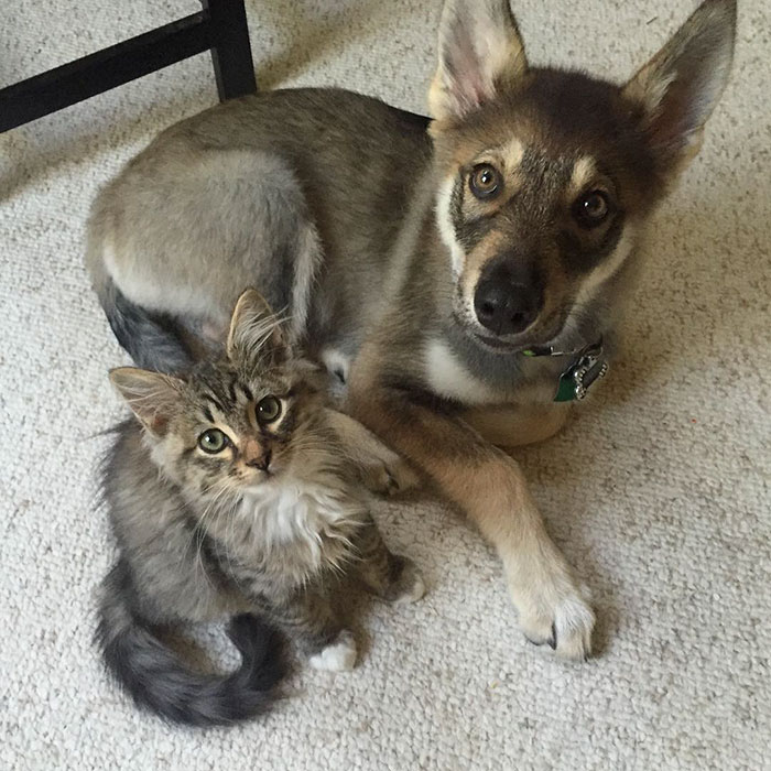 husky dog picks shelter cat friendship raven woodhouse christina 13 - Husky adota gatinho e se tornam melhores amigos inseparáveis