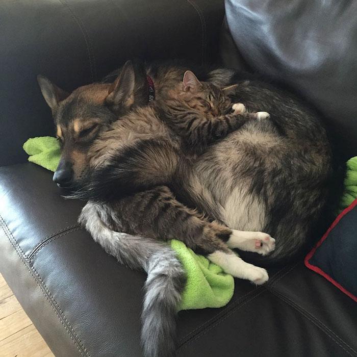 husky dog picks shelter cat friendship raven woodhouse christina 2 - Husky adota gatinho e se tornam melhores amigos inseparáveis
