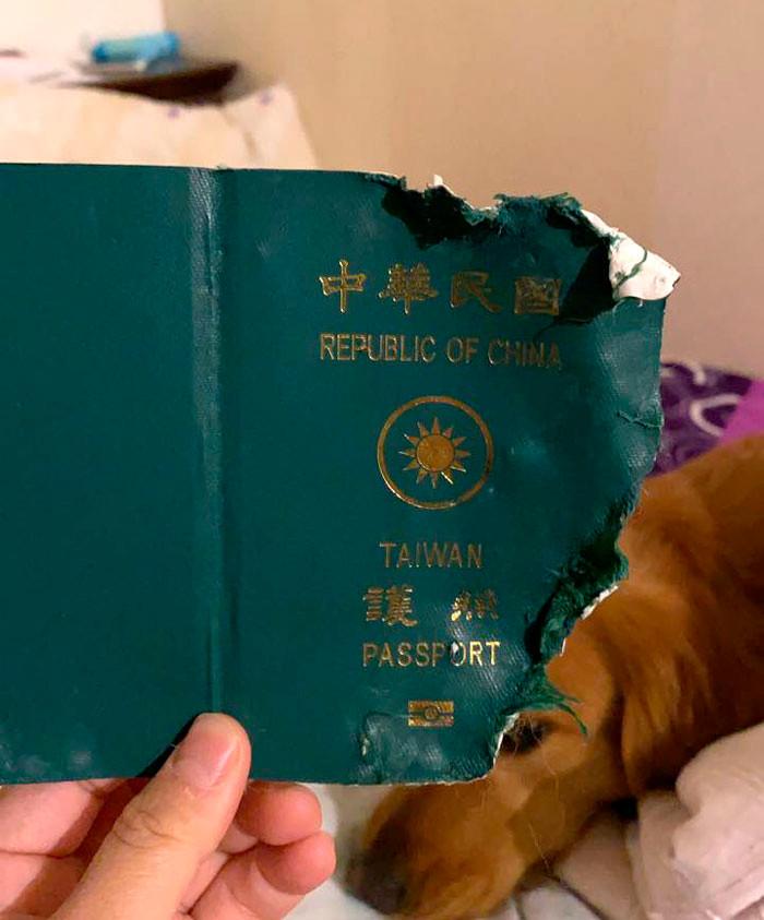 passaporte7 2 - Cadelinha come passaporte e livra dona de viajar ao epicentro do coronavírus