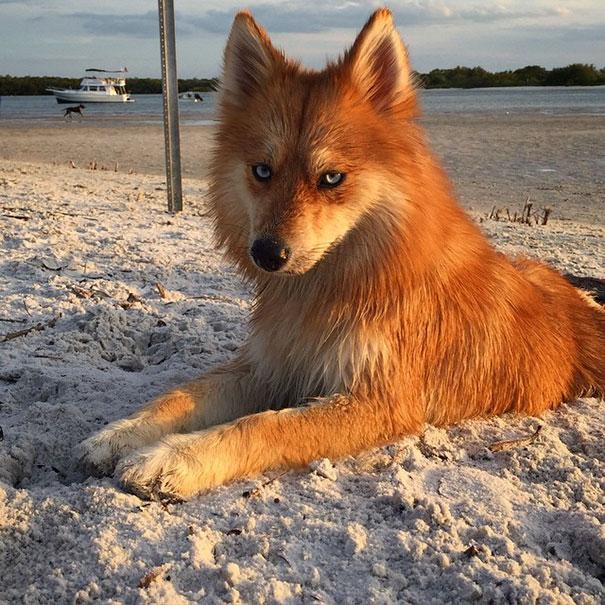 1 - Mya, uma mistura entre Husky e Splitz Alemão que saiu igual uma raposa