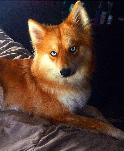 2 - Mya, uma mistura entre Husky e Splitz Alemão que saiu igual uma raposa