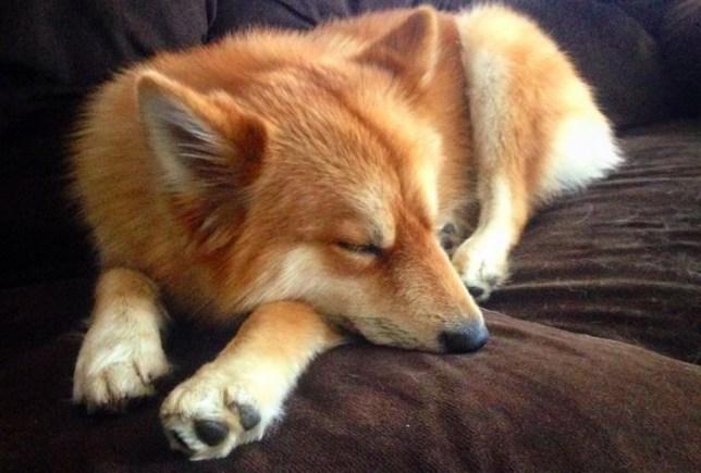 3 - Mya, uma mistura entre Husky e Splitz Alemão que saiu igual uma raposa