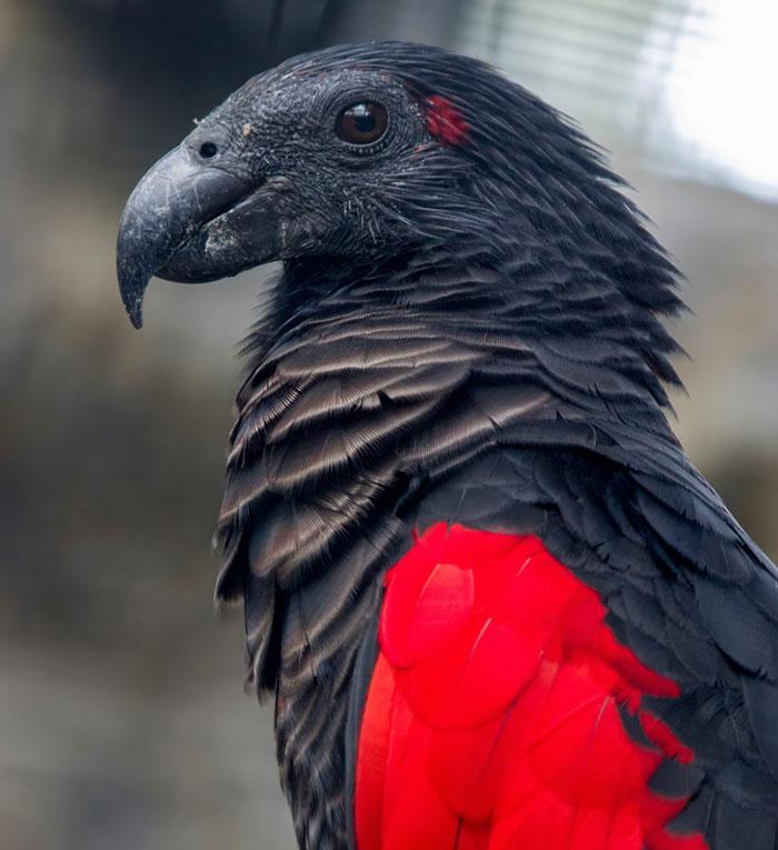 Pesquets dracula parrots birds new guinea 1 5e55392f17e1e 700 - Conheça o papagaio Drácula, o pássaro mais gótico do mundo
